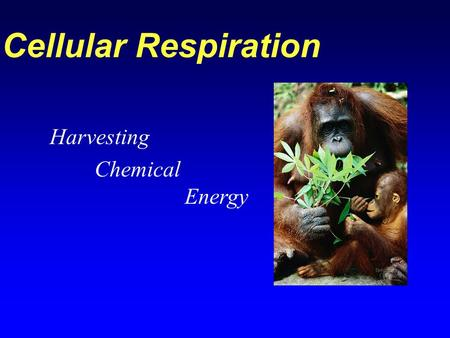 Cellular Respiration Harvesting Chemical Energy. Review: Oxidation and Reduction Oxidized atom Electron is donated Energy is donated Reduced atom Electron.