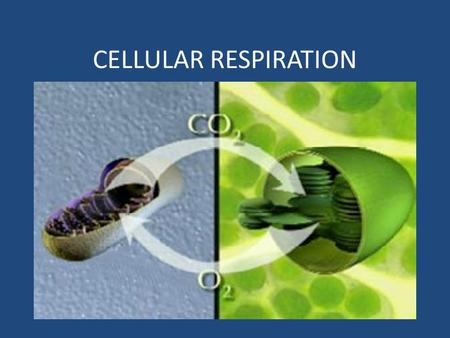 CELLULAR RESPIRATION. TERMINOLOGY Aerobes – require oxygen to make energy – Most plants, animals & some bacteria – Staphylococcus Anaerobes – not require.