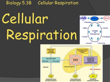 Biology 5.3B Cellular Respiration
