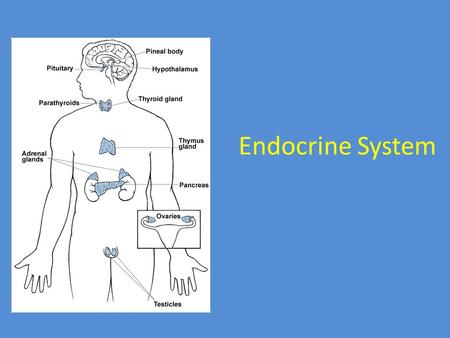 Endocrine System. Second great controlling system of body Endocrine glands produce and secrete hormones Hormones – chemical messengers that act on target.