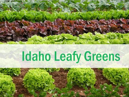 Idaho Leafy Greens. Leafy Greens  The most common type of leafy green eaten in the United States is lettuce.  There are many other kinds of leafy greens.