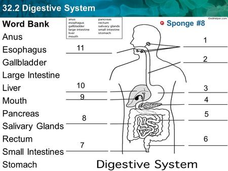 Word Bank Anus Esophagus Gallbladder Large Intestine Liver Mouth