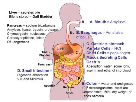 A. Mouth = Amylase C. Gastric = stomach Parietal Cells = HCl Chief Cells = pepsinogen Mucus Secreting Cells Gastrin Absorption water, some ions, aspirin.
