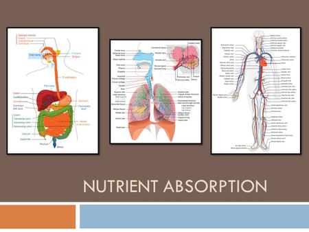 Nutrient Absorption.