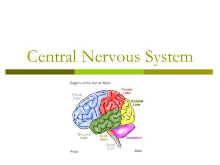 Central Nervous System. Divisions of the Brain  Brainstem Medulla oblongata  extension of spinal cord  Contains the cardiac, respiratory and vasomotor.
