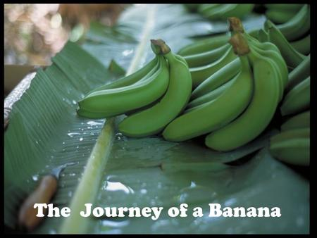 The Journey of a Banana. Bananas are grown all over the world.