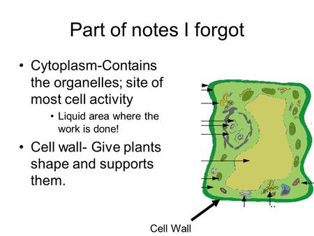 Part of notes I forgot Cytoplasm-Contains the organelles; site of most cell activity Liquid area where the work is done! Cell wall- Give plants shape and.
