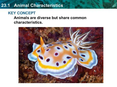 23.1 Animal Characteristics KEY CONCEPT Animals are diverse but share common characteristics.