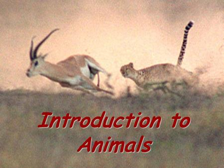 Introduction to animals Introduction to Animals. Characteristics of Animals All multicellular Eukaryotes Heterotrophs (take in food and internally digest.