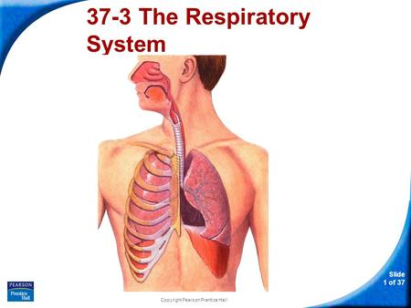 37-3 The Respiratory System