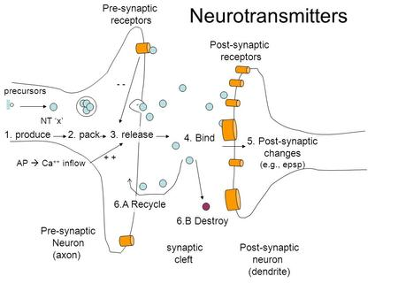 Pre-synaptic Neuron (axon) Post-synaptic neuron (dendrite) 1. produce precursors 2. pack 3. release 4. Bind 5. Post-synaptic changes (e.g., epsp) 6.A Recycle.