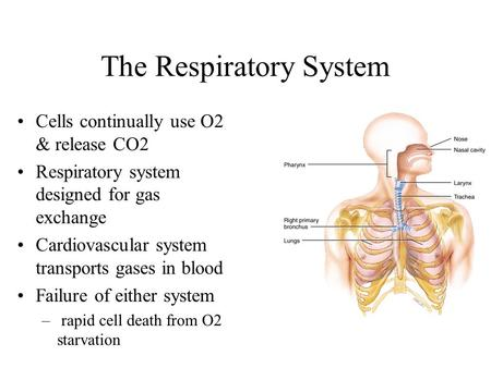 The Respiratory System Cells continually use O2 & release CO2 Respiratory system designed for gas exchange Cardiovascular system transports gases in blood.