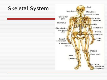 Skeletal System. Purpose  Support framework  Protects vital organs  Works with muscles to produce movement  Produces blood cells.