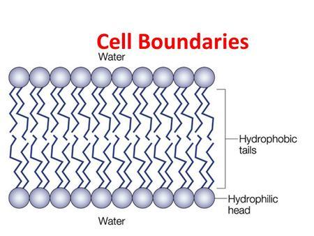 Cell Boundaries. I. Cell Membrane A. All cells are surrounded by a thin flexible barrier known as the cell membrane B. Cell membrane regulates what goes.