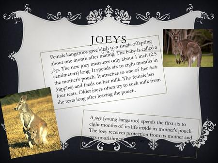 JOEYS Female kangaroos give birth to a single offspring about one month after mating. The baby is called a joey. The new joey measures only about 1 inch.