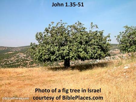 John 1.35-51 Photo of a fig tree in Israel courtesy of BiblePlaces.com.