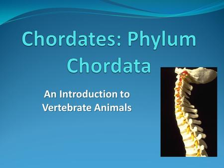 An Introduction to Vertebrate Animals. Introduction most familiar to us Chordates (vertebrates) are the group of animals most familiar to us Ex: Ex: mammals,