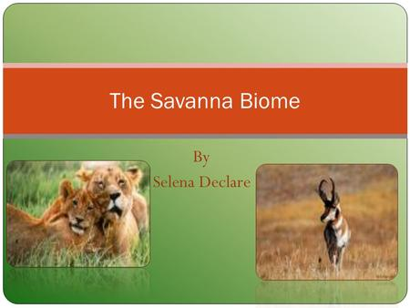 The Savanna Biome By Selena Declare.