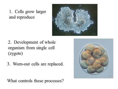 3. Worn-out cells are replaced. 1. Cells grow larger and reproduce 2. Development of whole organism from single cell (zygote) What controls these processes?