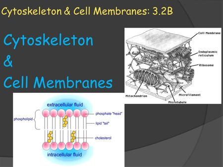 Cytoskeleton & Cell Membranes: 3.2B Cytoskeleton & Cell Membranes.