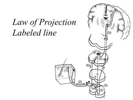 1 Law of Projection Labeled line. 2 3 Seizures and Epilepsies Definition neurological deficits (positive or negative) caused by abnormal neuronal discharges.