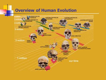 Overview of Human Evolution Hominids Through Time.