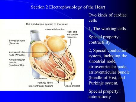 Section 2 Electrophysiology of the Heart
