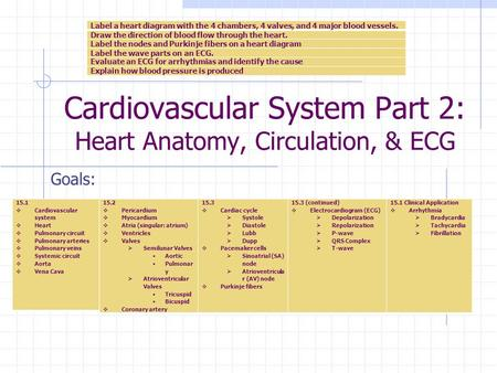 Cardiovascular System Part 2: Heart Anatomy, Circulation, & ECG