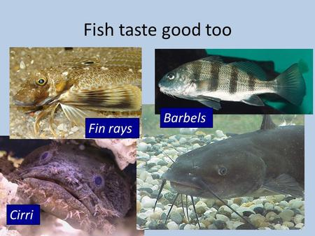Fish taste good too Fin rays Barbels Cirri. Mechanoreception  What is sound?