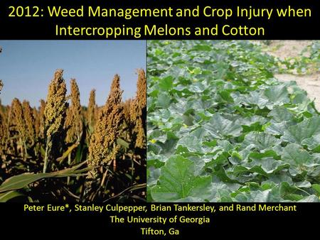 2012: Weed Management and Crop Injury when Intercropping Melons and Cotton Peter Eure*, Stanley Culpepper, Brian Tankersley, and Rand Merchant The University.