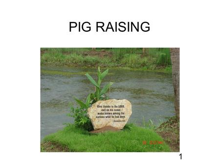 PIG RAISING 1. A Healthy Environment Shade because pig have no sweat gland in their skin Generally Temp for adult is 10 – 27 C Generally Temp baby pig.