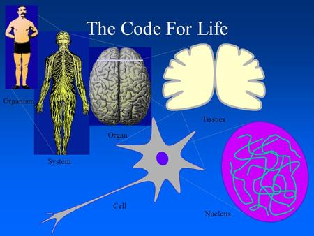 System The Code For Life Organism Organ Tissues Cell. Nucleus.