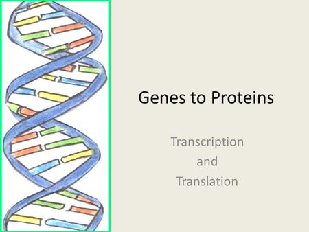 Genes to Proteins Transcription and Translation DNA  RNA  Protein DNA contains genes which provide the information necessary to make proteins Different.