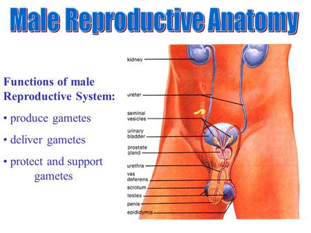 Functions of male Reproductive System: produce gametes deliver gametes protect and support gametes.