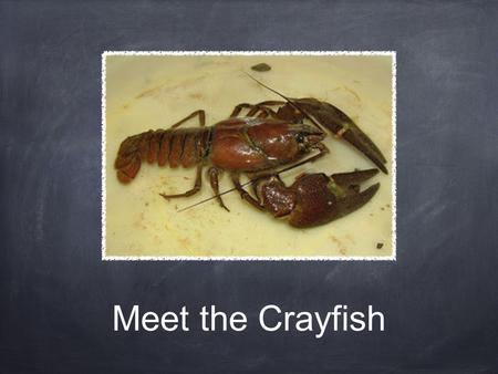 Meet the Crayfish. Handling Crayfish Approach the crayfish from behind Grab the crayfish behind the pincers It may try to reach back but it will not be.