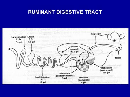 RUMINANT DIGESTIVE TRACT. Stomach –Reticulum, rumen & omasum Fermentation Absorption of fermentation endproducts –Abomasum Secretion of hydrochloric acid.