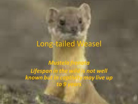 Long-tailed Weasel Mustela frenata Lifespan in the wild is not well known but in captivity may live up to 9 years.