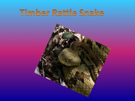 The timber rattlesnake is a reptile. It is a poisonous snake. Rattlesnakes have dry scales that form patterns on its body. The colors are different.