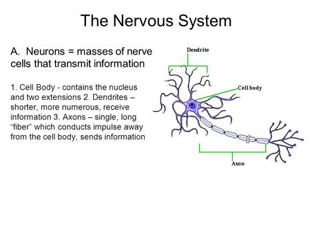 The Nervous System A. Neurons = masses of nerve cells that transmit information 1. Cell Body - contains the nucleus and two extensions 2. Dendrites – shorter,