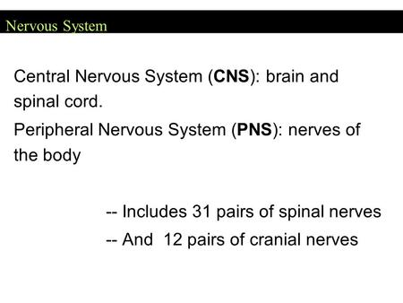 Nervous System Central Nervous System (CNS): brain and spinal cord. Peripheral Nervous System (PNS): nerves of the body -- Includes 31 pairs of spinal.