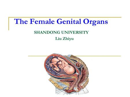 The Female Genital Organs SHANDONG UNIVERSITY Liu Zhiyu.