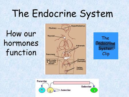 The Endocrine System How our hormones function The Endocrine System Clip.