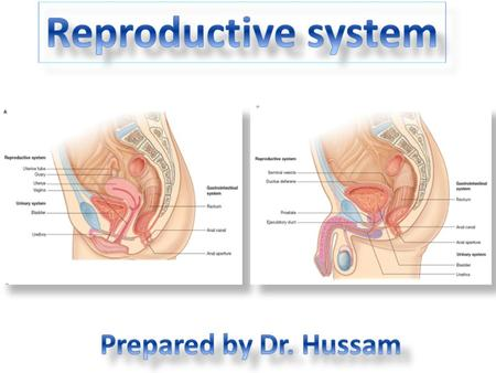 The reproductive system in men is formed of: - 2 testes enclosed by scrotum - 2 ductus deferens (vas deferens) enclosed by spermatic cord through its.