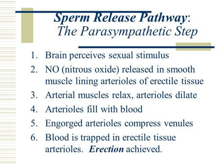 Sperm Release Pathway: The Parasympathetic Step 1.Brain perceives sexual stimulus 2.NO (nitrous oxide) released in smooth muscle lining arterioles of erectile.