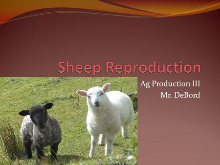 Ag Production III Mr. DeBord. The major factor affecting profitablitiy of sheep operations is reproductive effciency or percent lamb crop raised and marketed.