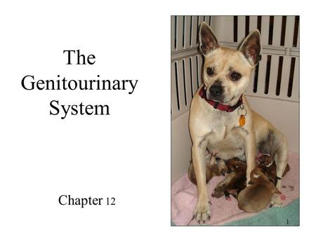 The Genitourinary System Chapter 12 1. All the best Santas are furry. 2.
