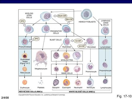 2/4/08 Fig. 17-10. 2/4/08 White Blood Cell Production  CSFs you need to know (most important ones):  GM-CSF = distinguishes myeloblast from monoblast.