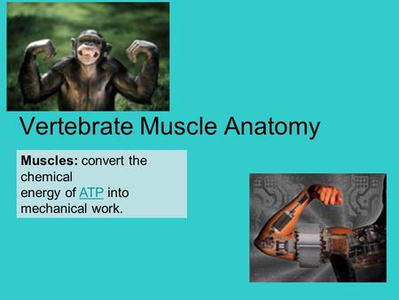 Vertebrate Muscle Anatomy Muscles: convert the chemical energy of ATP into mechanical work.ATP.