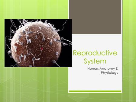 Reproductive System Honors Anatomy & Physiology. Male Anatomy.