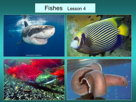 Fishes Lesson 4. -Aquatic vertebrates (they have backbones) -Most have paired fins, scales on some parts of the body, and gills. -Fins are for movement.